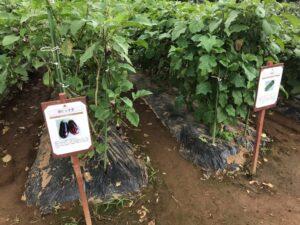 茄子の種類