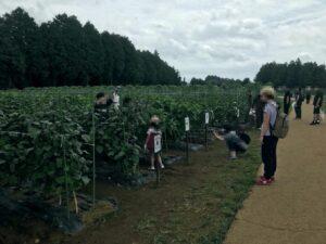 収穫体験1